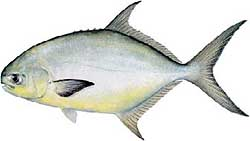 Surf fishing for Pompano fish good to eat